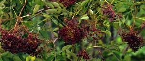 flies - plants - Elderberry 2