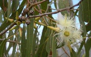 flies - plants - eucalyptus Oil 3