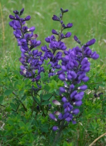 flies - plants - False indigo