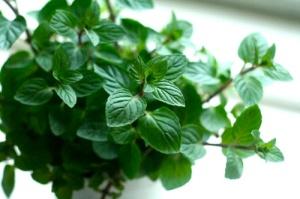 flies - plants - Mint