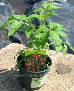 flies - plants - tomato plant