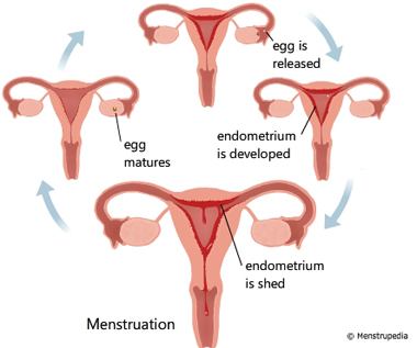 physiology-menstruation