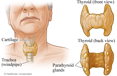 thyroid 01