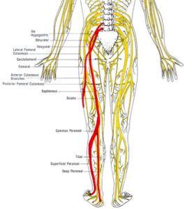 sciatica-_nerve