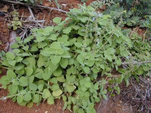 mosquito - Vicks plant 4