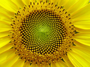 Fibonacci Sequence flower