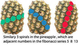 Fibonacci Sequence Shell pineapple