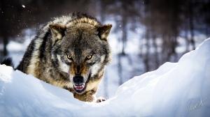 Dangerous Wolf 04