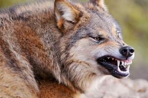 Dangerous Wolf 06