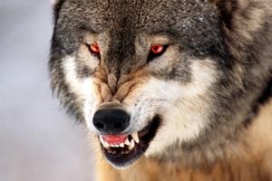 Dangerous Wolf 09