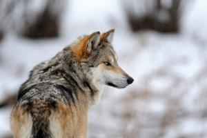 Dangerous Wolf 1